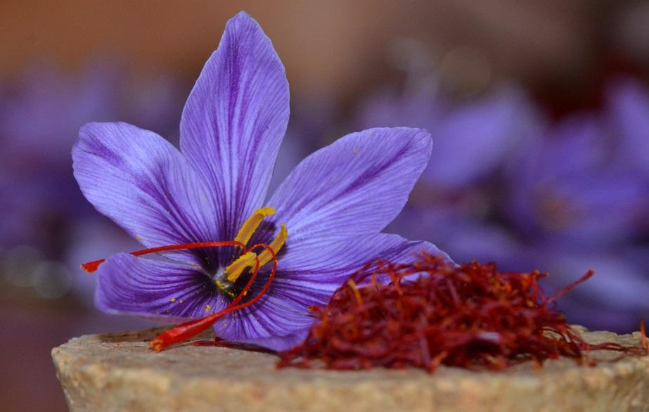 Cancer, dépression, sclérose : les bienfaits multiples du Safran